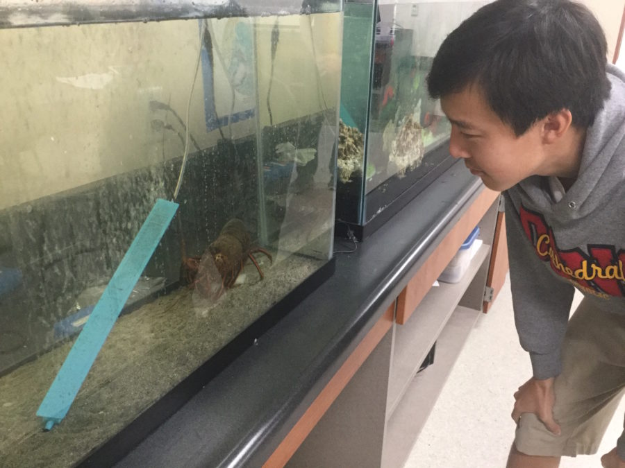 CCHS student Jerry Zhang '17 observes Larry the Lobster, the new class pet in Mr. Vitton's oceanography class, as it feeds on frozen catfish fillets.